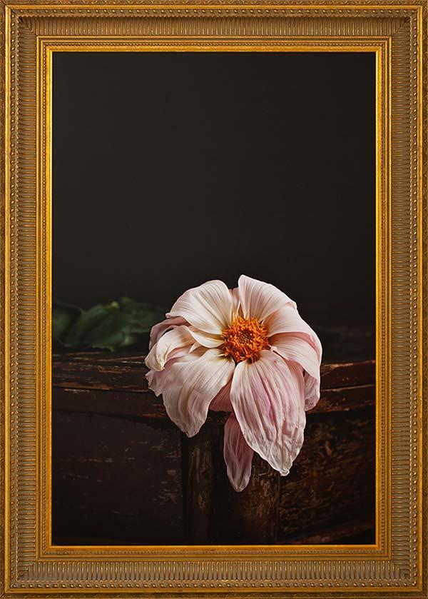 Dhalia Fiore: Fineart print 50x75cm inc. frame 88x62cm € 875,-